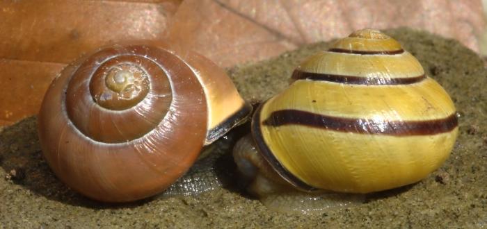 Cepaea nemoralis by AnneTanne CC BY-NC-SA 2.0