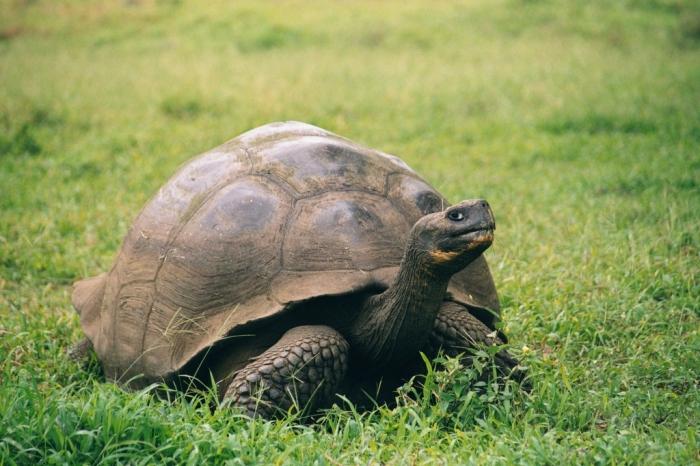 Galapagos_Geochelone_nigra_porteri